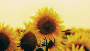 How to paint sunflowers reference image of a field with yellow sunflowers